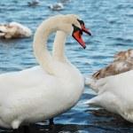 White swans. — Stock Photo