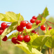 Bunches of red snowball tree berryes — Stock Photo #1686208