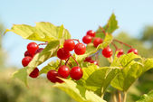 Bunches of red snowball tree berryes — Stock Photo