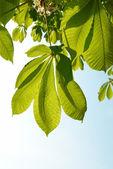 Hojas verdes de la castaña. — Foto de Stock