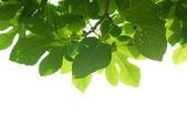 Foglie di fico verde con ramo — Foto Stock
