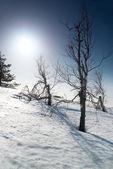 Bäume unter dem schnee mit sonnenschein stern. — Stockfoto
