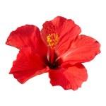 Hibiscus rosa sinensis — Stock Photo #1717816