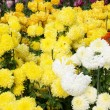 Field of colors chrysanthemums. — Stock Photo