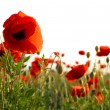 Beautiful red poppies - Stock Photo