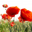 Beautiful red poppies — Stock Photo #1718622