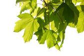 Hojas verdes castañas — Foto de Stock