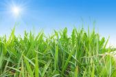 Hierba verde aislada — Foto de Stock