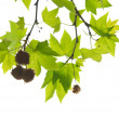 Green maple leaves with branch — Foto Stock