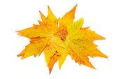 Orange érable à feuilles d'automne — Photo