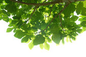 Green fig-tree leaves with branch — Stock Photo