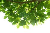 Zelená fíkovník listy s pobočkou — Stock fotografie