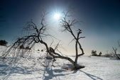 Trees under snow with sunshine star. — Stock Photo