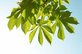 Green chestnut leaves — Stock Photo