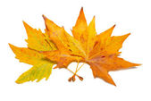 Orange faller lönn löv — Stockfoto