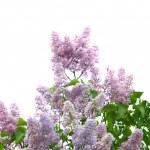Violet lilac branch — Stock Photo