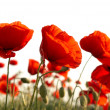 Red poppies — Stock Photo #2070961