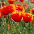 Field of poppies — Stock Photo #2071321