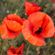 Field of poppies — Stock Photo #2071549