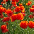 Field of poppies — Stock Photo #2096124