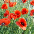 Field of poppies — Stock Photo #2197780