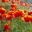 Field of poppies — Stock Photo #2279529
