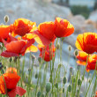 Field of poppies — Stock Photo #2279683