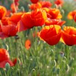Field of poppies — Stock Photo #2279776
