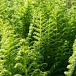 Young green fern — Stock Photo