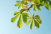 クリの緑の葉 — ストック写真