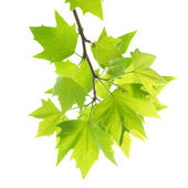 Green maple leaves with branch — Stock Photo