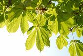 Green leaves of chestnut. — Stock Photo