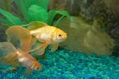 Tropical golden fish — Foto Stock