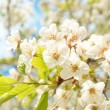 White cherry flowers - Stock Photo