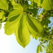 Green leaves of chestnut. - Stock Photo