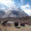 Landscape with yaks and mountains. — Stock Photo