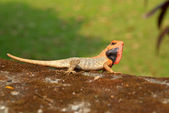 Orange-headed agama — ストック写真