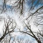 Top of winter trees — Stock Photo #2567389