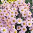 Sweet pink chrysanthemums. — Stock Photo #2568225