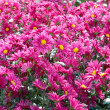 Field of dark pink chrysanthemums. — Stock Photo #2568292