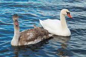 Cisnes brancos. — Fotografia Stock
