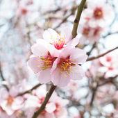 Almond tree pink flowers. — Stock Photo