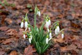 Spring flowers- snowdrops. — Stock Photo