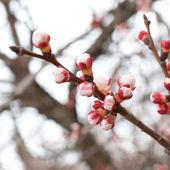Almond pink buds — Stock Photo