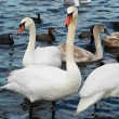 White swans. — Stock Photo