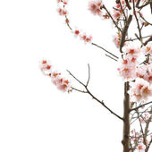 Almond tree pink flowers. — Stock Photo