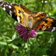Painted Lady Butterfly 2 — Stock Photo #1981904