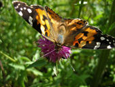 Painted Lady Butterfly 2 — Stock Photo