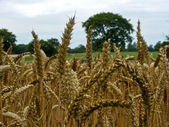 Cornfield 3 — Stock Photo