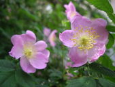Dog rose — Stock Photo